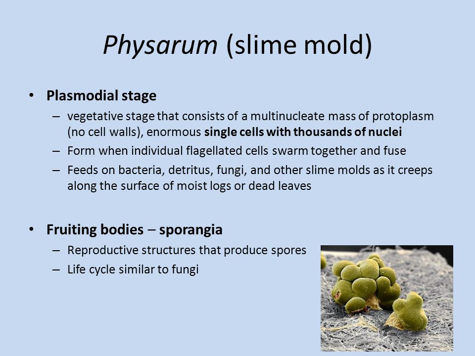 Physarum (slime mold) Plasmodial stage – vegetative stage that consists of a multinucleate mass of protoplasm (no cell walls), enormous single cells with thousands of nuclei – Form when individual flagellated cells swarm together and fuse – Feeds on bacteria, detritus, fungi, and other slime molds as it creeps along the surface of moist logs or dead leaves Fruiting bodies – sporangia – Reproductive structures that produce spores – Life cycle similar to fungi