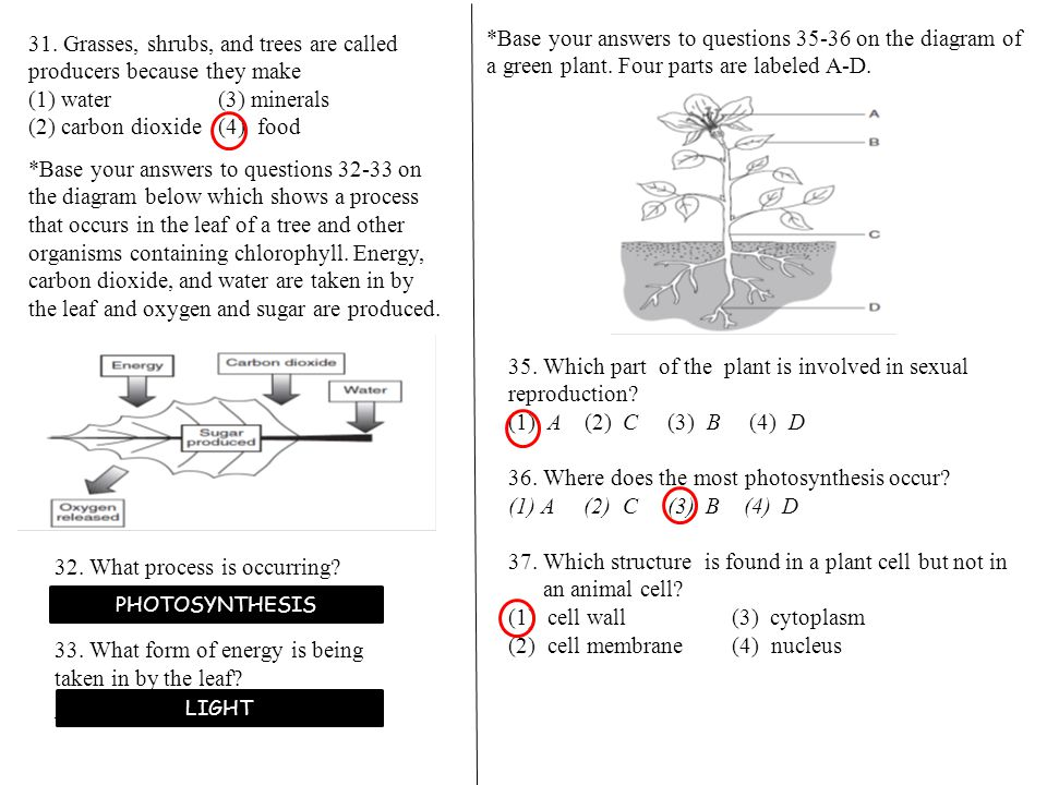 *Base your answers to questions 35-36 on the diagram of a green plant.