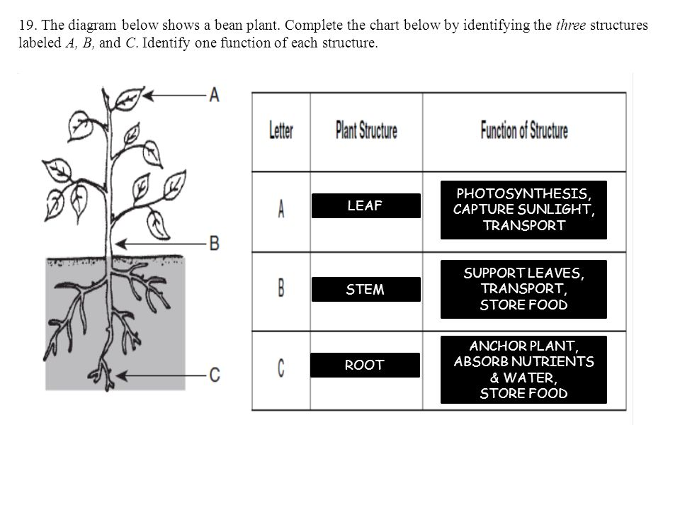 19.The diagram below shows a bean plant.