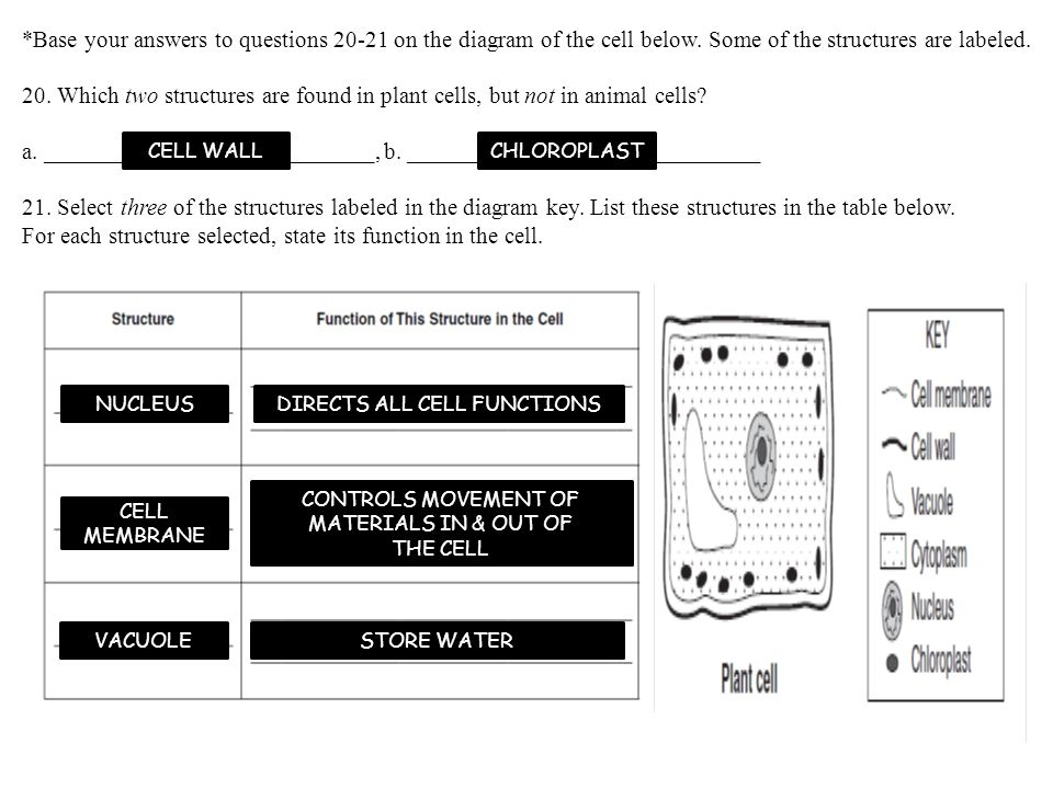 *Base your answers to questions 20-21 on the diagram of the cell below.