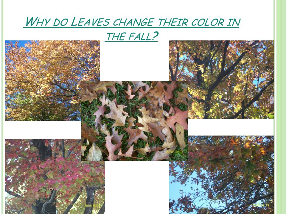 W HY DO L EAVES CHANGE THEIR COLOR IN THE FALL ?