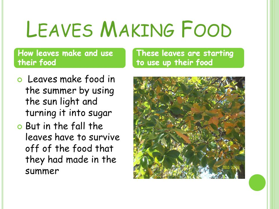 L EAVES M AKING F OOD Leaves make food in the summer by using the sun light and turning it into sugar But in the fall the leaves have to survive off of the food that they had made in the summer How leaves make and use their food These leaves are starting to use up their food