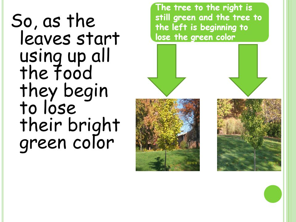 So, as the leaves start using up all the food they begin to lose their bright green color The tree to the right is still green and the tree to the left is beginning to lose the green color