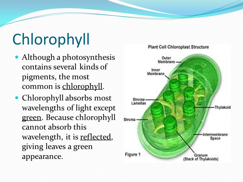 Chlorophyll Although a photosynthesis contains several kinds of pigments, the most common is chlorophyll. Chlorophyll absorbs most wavelengths of ligh