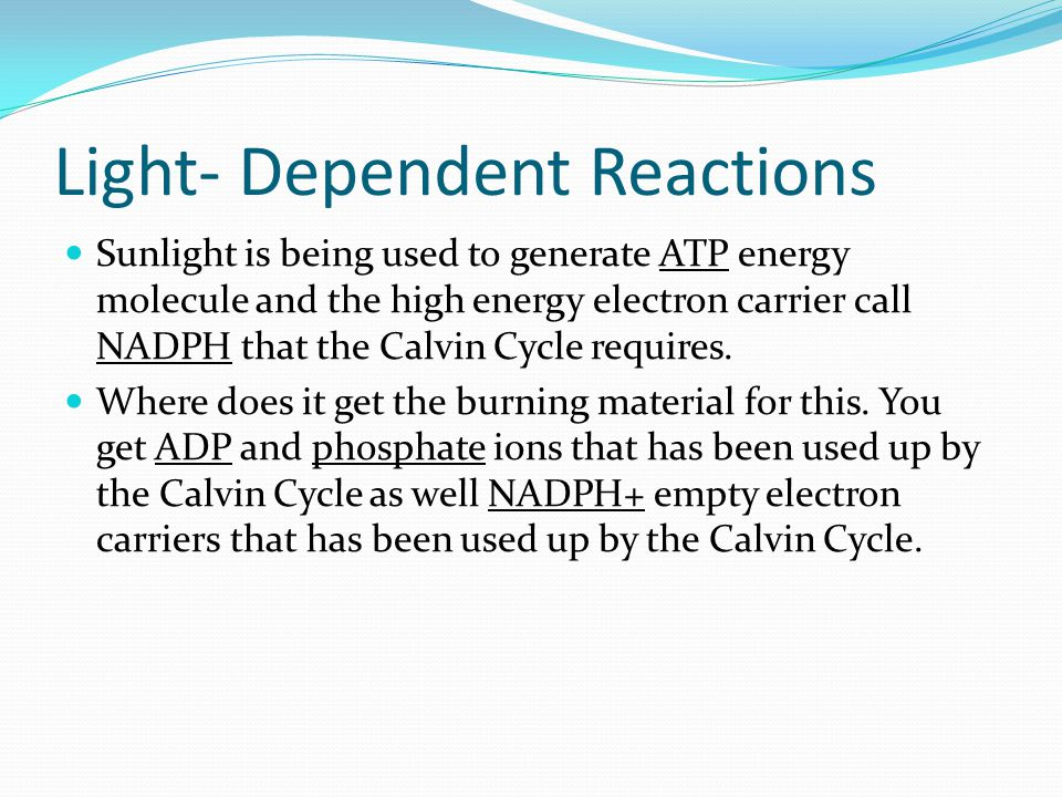 Light- Dependent Reactions Sunlight is being used to generate ATP energy molecule and the high energy electron carrier call NADPH that the Calvin Cycle requires.