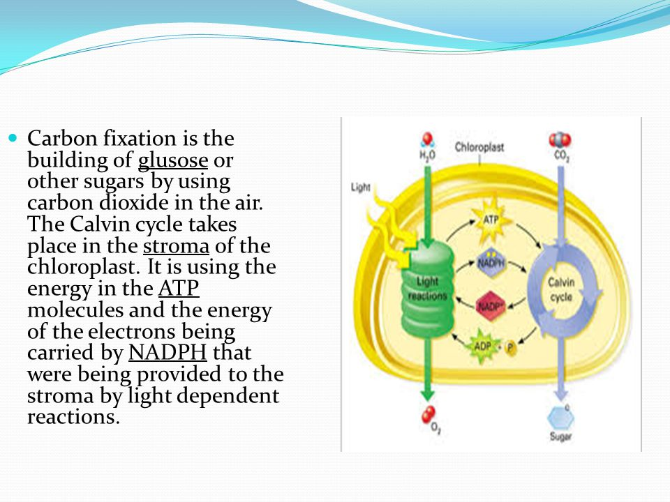 Carbon fixation is the building of glusose or other sugars by using carbon dioxide in the air. The Calvin cycle takes place in the stroma of the chlor
