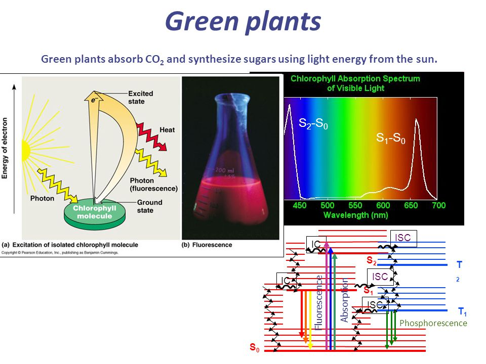 Green plants Green plants absorb CO 2 and synthesize sugars using light energy from the sun.