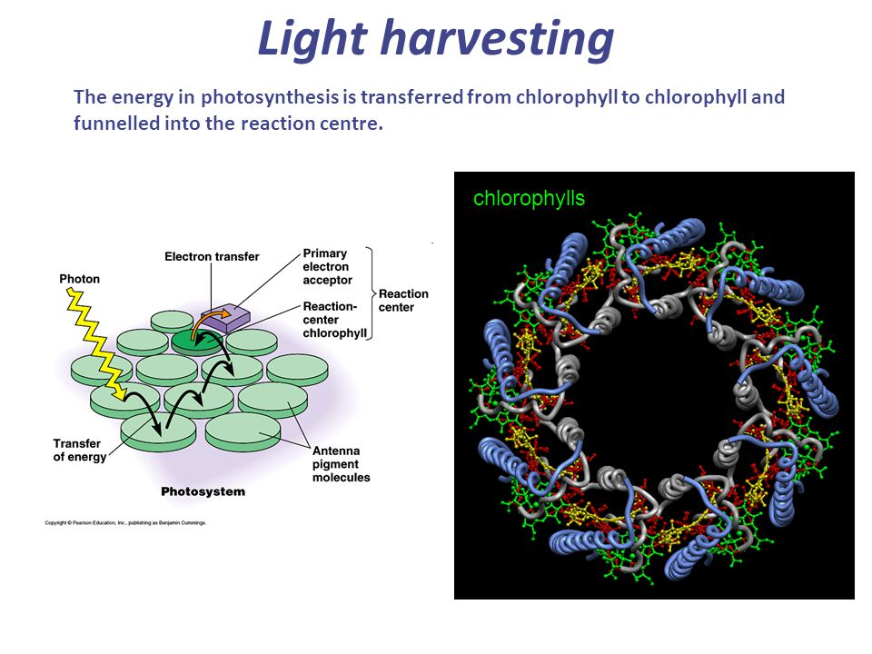 Light harvesting The energy in photosynthesis is transferred from chlorophyll to chlorophyll and funnelled into the reaction centre.