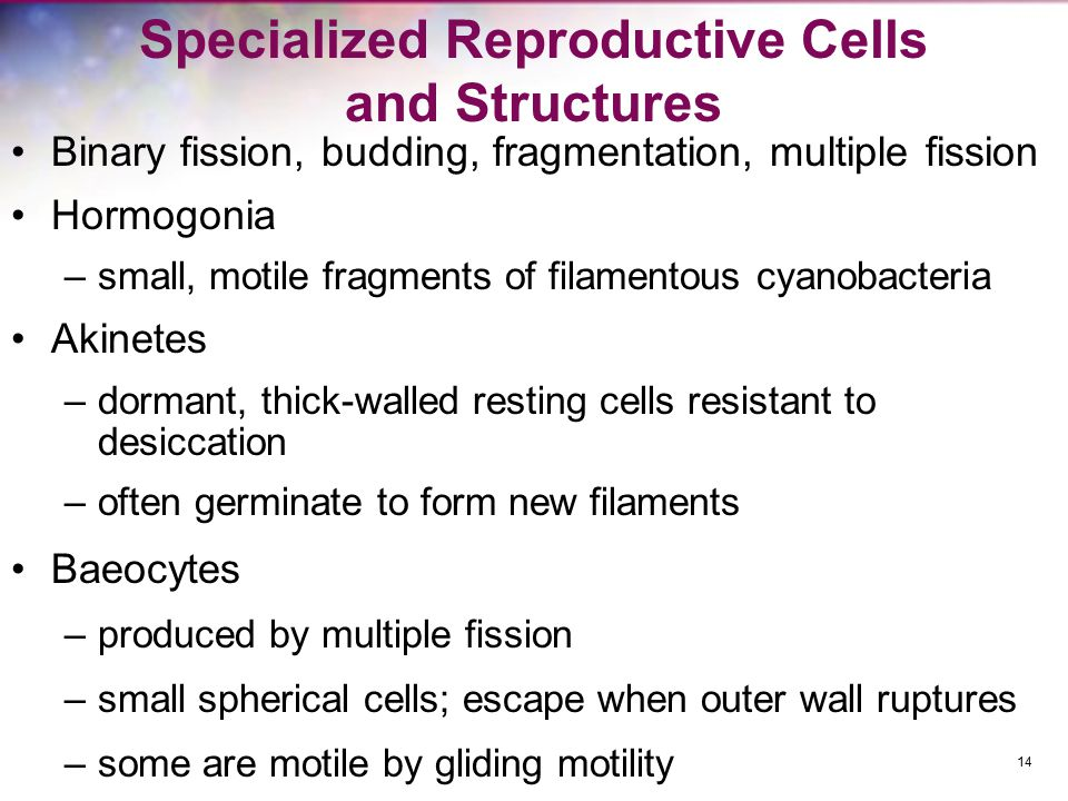 Specialized Reproductive Cells and Structures Binary fission, budding, fragmentation, multiple fission Hormogonia –small, motile fragments of filament