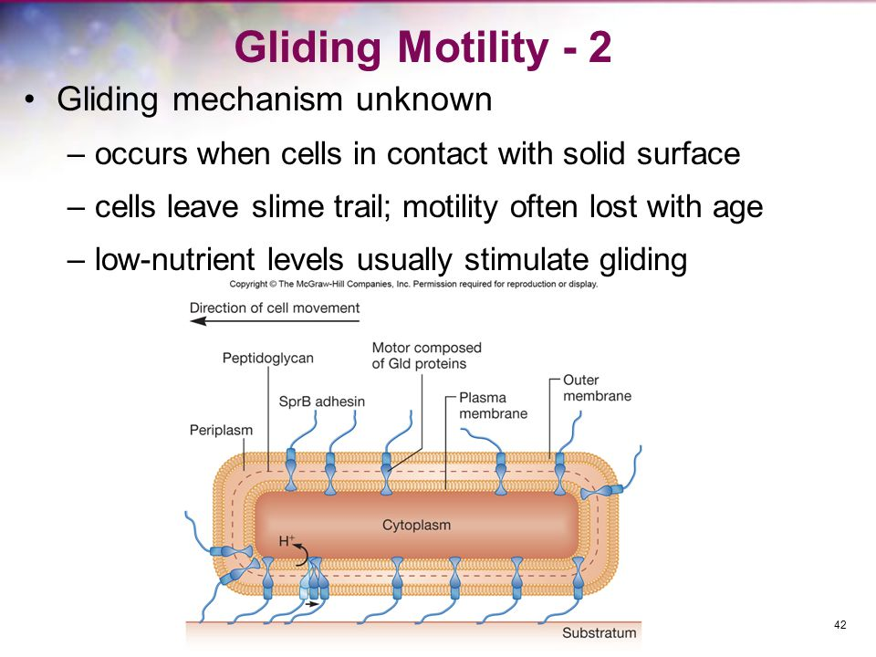 Gliding Motility - 2 Gliding mechanism unknown –occurs when cells in contact with solid surface –cells leave slime trail; motility often lost with age