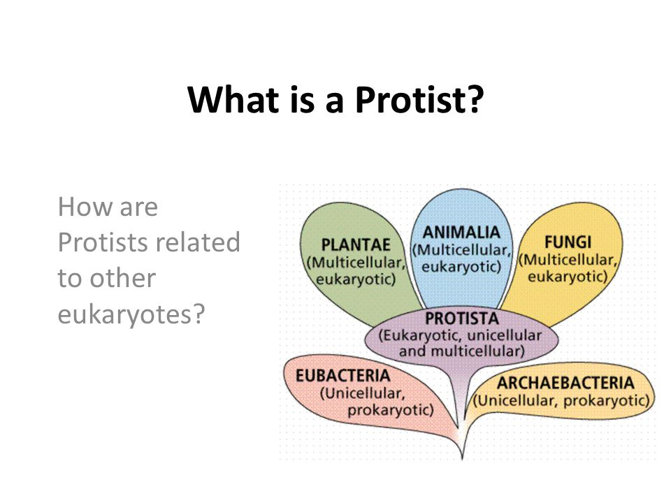 What is a Protist? How are Protists related to other eukaryotes?
