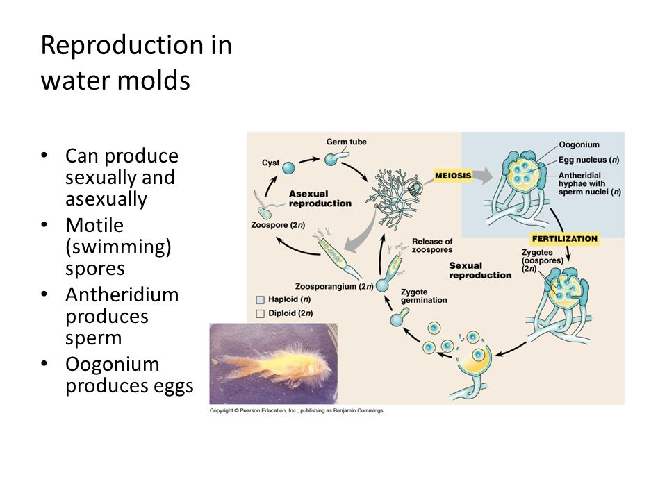Reproduction in water molds Can produce sexually and asexually Motile (swimming) spores Antheridium produces sperm Oogonium produces eggs