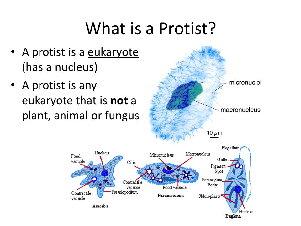 What is a Protist? A protist is a eukaryote (has a nucleus) A protist is any eukaryote that is not a plant, animal or fungus