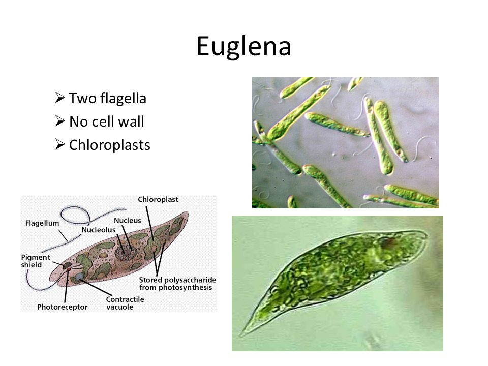 Euglena  Two flagella  No cell wall  Chloroplasts