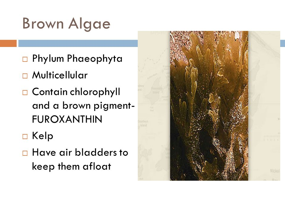 Brown Algae  Phylum Phaeophyta  Multicellular  Contain chlorophyll and a brown pigment- FUROXANTHIN  Kelp  Have air bladders to keep them afloat