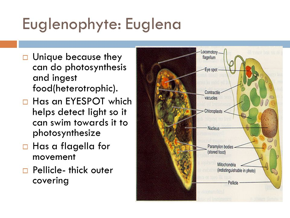 Euglenophyte: Euglena  Unique because they can do photosynthesis and ingest food(heterotrophic).  Has an EYESPOT which helps detect light so it can
