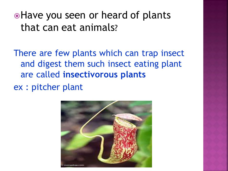 HHave you seen or heard of plants that can eat animals .