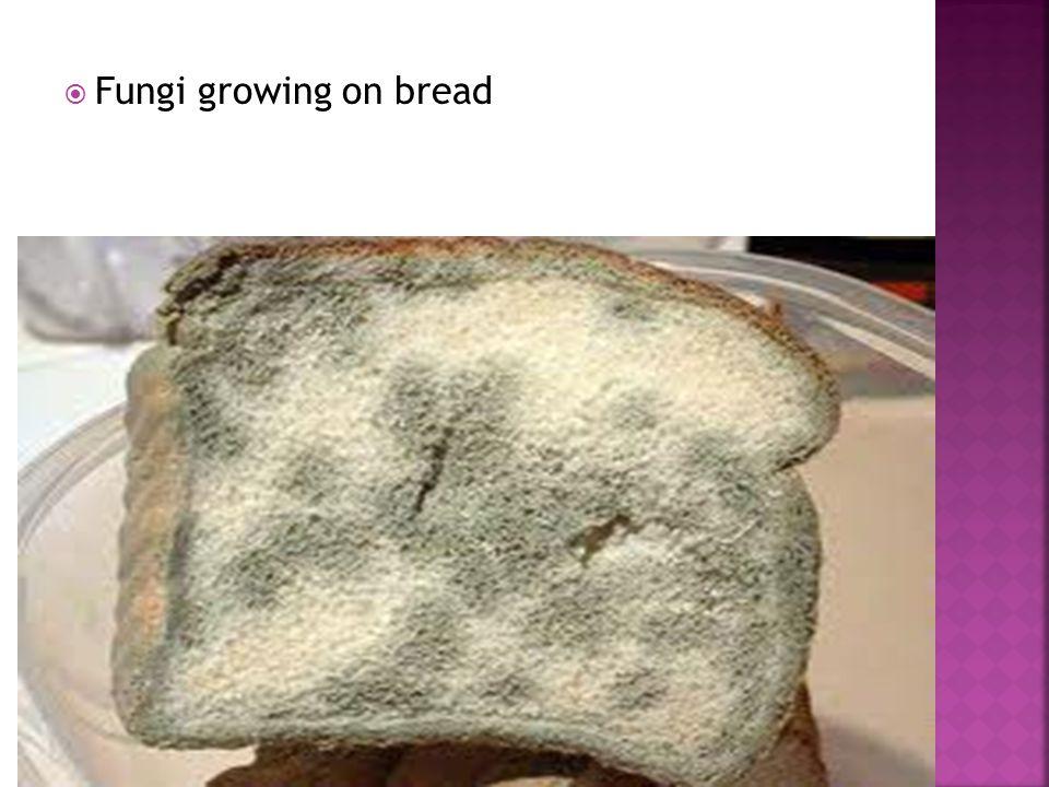  Fungi growing on bread