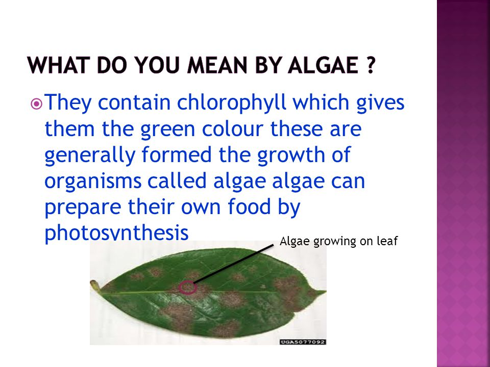 TThey contain chlorophyll which gives them the green colour these are generally formed the growth of organisms called algae algae can prepare their own food by photosynthesis Algae growing on leaf