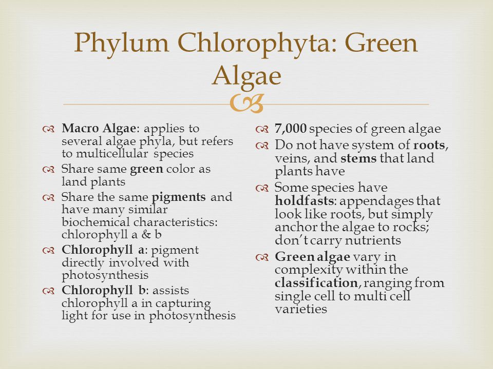  Phylum Chlorophyta: Green Algae  Macro Algae : applies to several algae phyla, but refers to multicellular species  Share same green color as land plants  Share the same pigments and have many similar biochemical characteristics: chlorophyll a & b  Chlorophyll a : pigment directly involved with photosynthesis  Chlorophyll b : assists chlorophyll a in capturing light for use in photosynthesis  7,000 species of green algae  Do not have system of roots, veins, and stems that land plants have  Some species have holdfasts : appendages that look like roots, but simply anchor the algae to rocks; don't carry nutrients  Green algae vary in complexity within the classification, ranging from single cell to multi cell varieties
