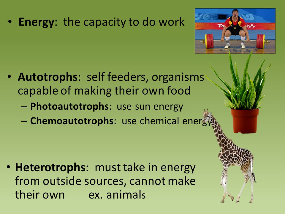 Autotrophs: self feeders, organisms capable of making their own food – Photoautotrophs: use sun energy – Chemoautotrophs: use chemical energy Heterotr