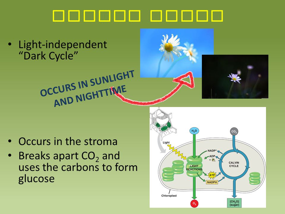 """CALVIN CYCLE Light-independent """"Dark Cycle"""" Occurs in the stroma Breaks apart CO 2 and uses the carbons to form glucose OCCURS IN SUNLIGHT AND NIGHTTI"""