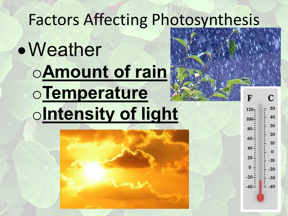 Factors Affecting Photosynthesis  Weather o Amount of rain o Temperature o Intensity of light
