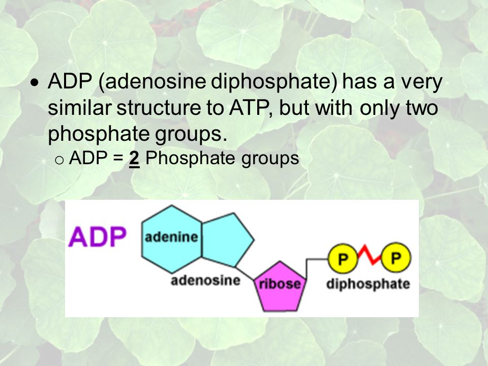  ADP (adenosine diphosphate) has a very similar structure to ATP, but with only two phosphate groups.