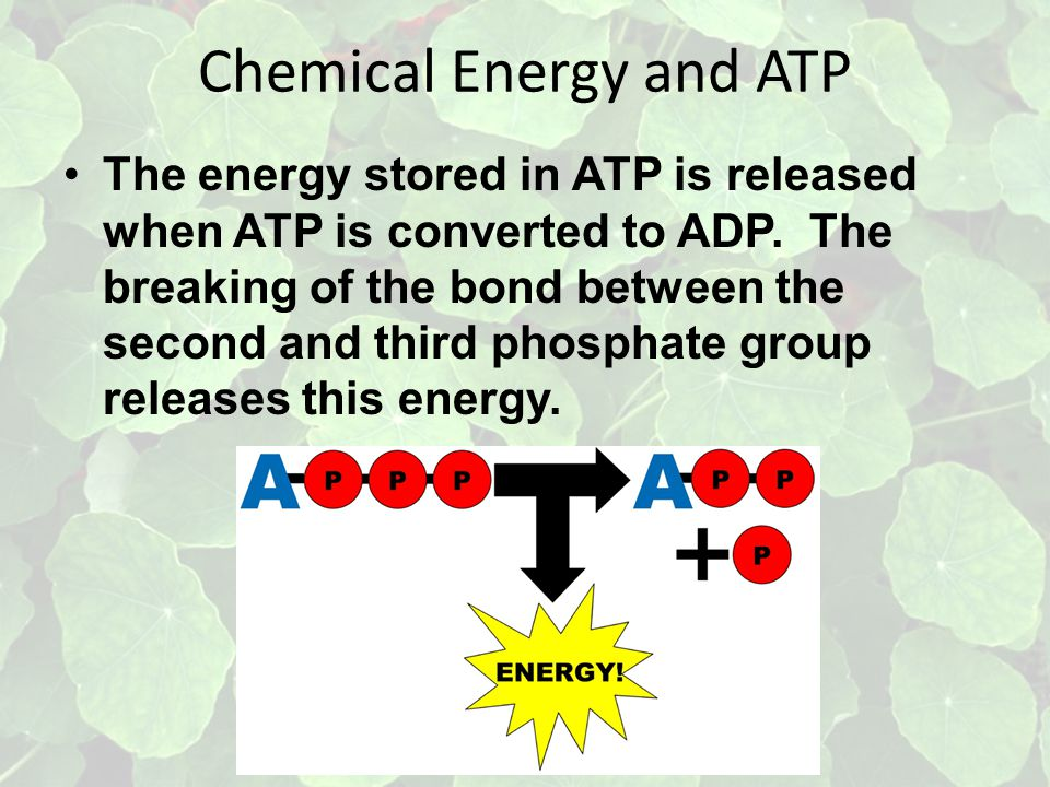 Chemical Energy and ATP The energy stored in ATP is released when ATP is converted to ADP.