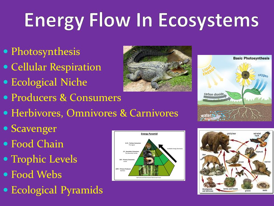 Photosynthesis Cellular Respiration Ecological Niche Producers & Consumers Herbivores, Omnivores & Carnivores Scavenger Food Chain Trophic Levels Food Webs Ecological Pyramids