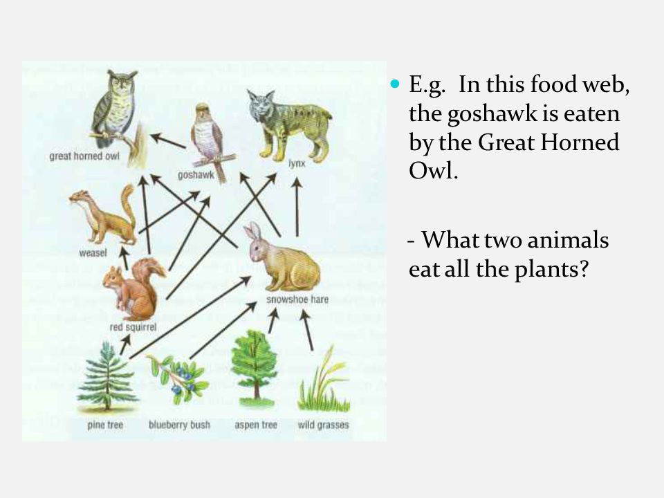 E.g. In this food web, the goshawk is eaten by the Great Horned Owl.