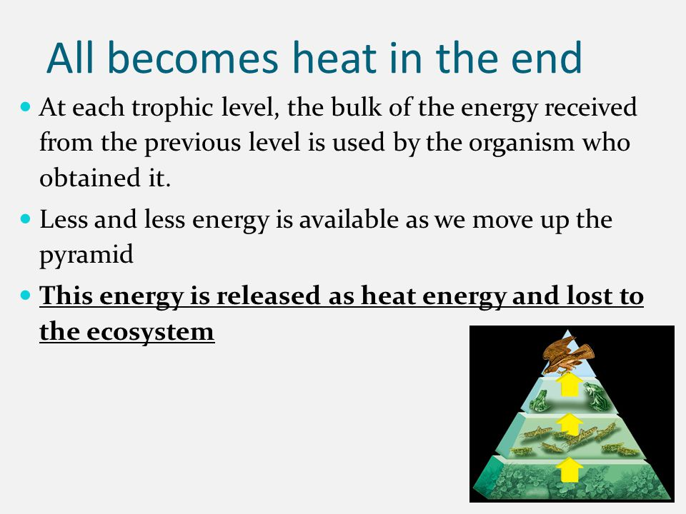 All becomes heat in the end At each trophic level, the bulk of the energy received from the previous level is used by the organism who obtained it. Le