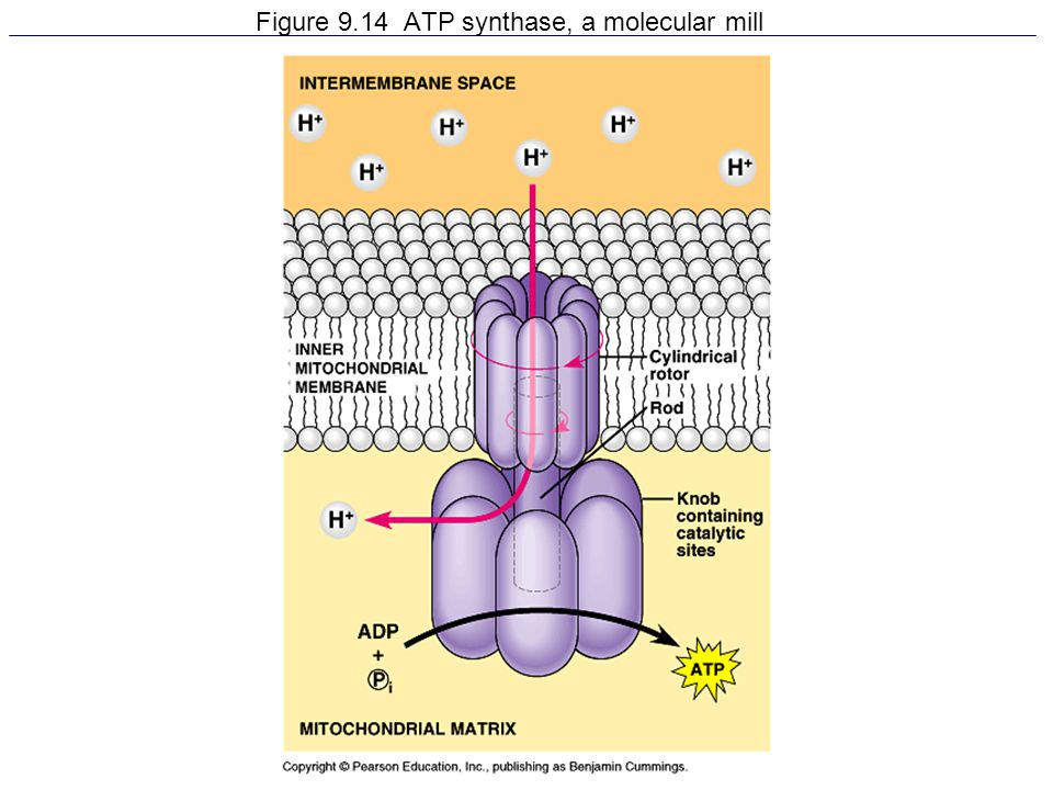Figure 9.14 ATP synthase, a molecular mill