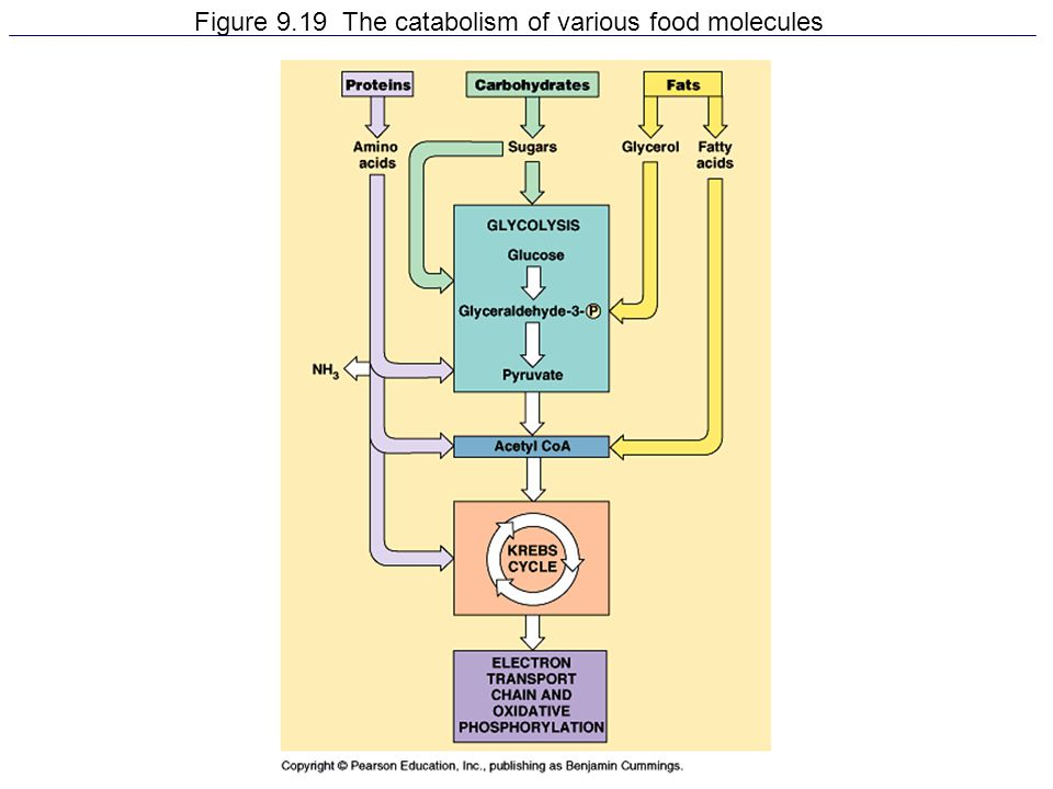 Figure 9.19 The catabolism of various food molecules