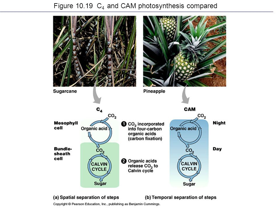 Figure 10.19 C 4 and CAM photosynthesis compared