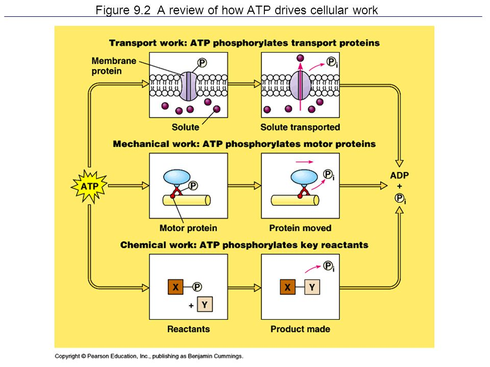 Figure 9.2 A review of how ATP drives cellular work