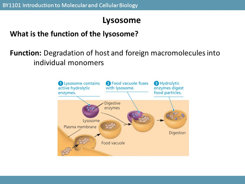 BY1101 Introduction to Molecular and Cellular Biology Lysosome What is the function of the lysosome? Function: Degradation of host and foreign macromo