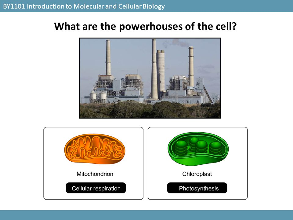BY1101 Introduction to Molecular and Cellular Biology What are the powerhouses of the cell?