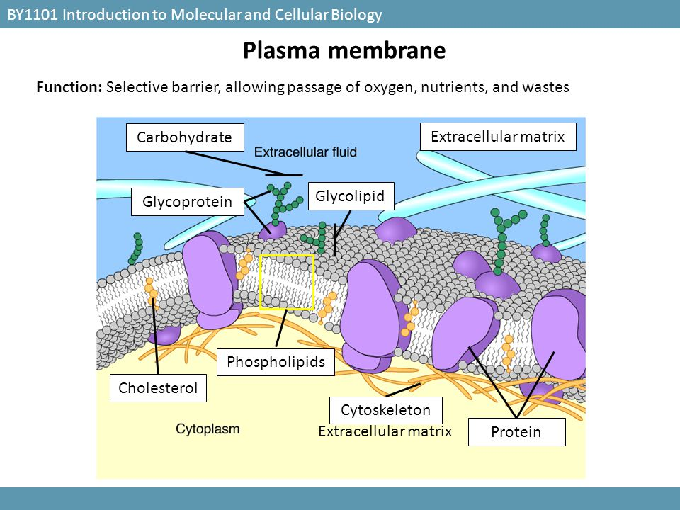 BY1101 Introduction to Molecular and Cellular Biology Extracellular matrix Glycolipid Carbohydrate Glycoprotein Cytoskeleton Cholesterol Protein Phosp