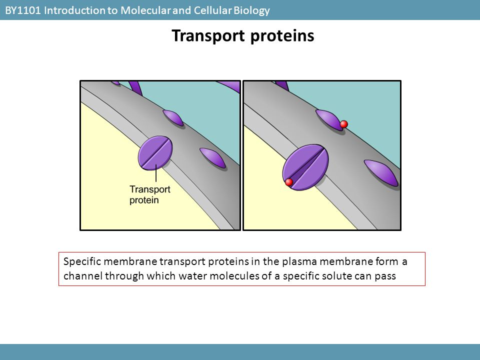 BY1101 Introduction to Molecular and Cellular Biology Transport proteins Specific membrane transport proteins in the plasma membrane form a channel th