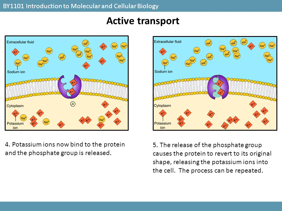 BY1101 Introduction to Molecular and Cellular Biology Active transport 4. Potassium ions now bind to the protein and the phosphate group is released.