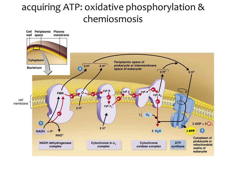 heterotrophy: respiration electron path (oxidation) The ETC process The ETC overview Factors affecting the ETC Switching to fermentation
