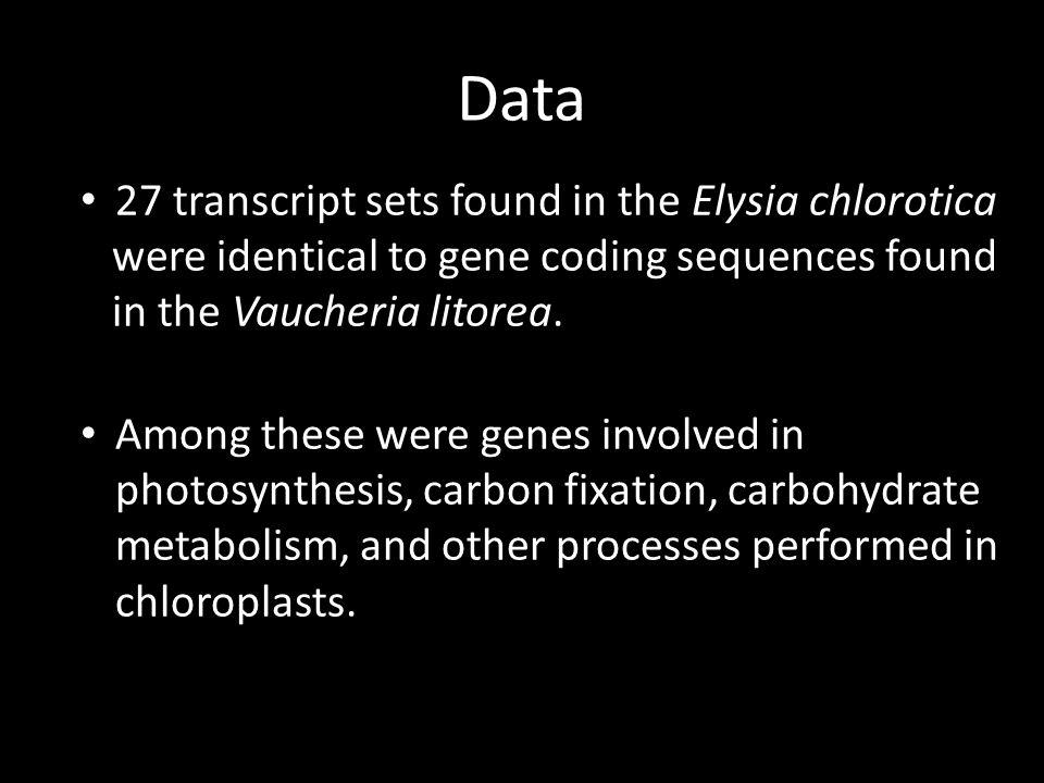 Data 27 transcript sets found in the Elysia chlorotica were identical to gene coding sequences found in the Vaucheria litorea.