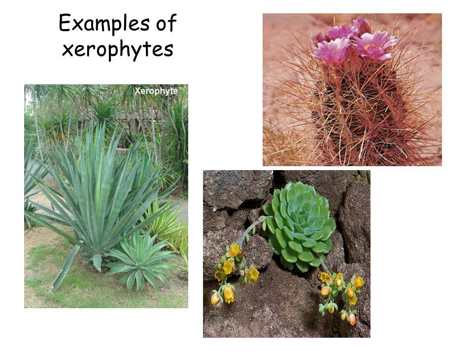 Examples of xerophytes