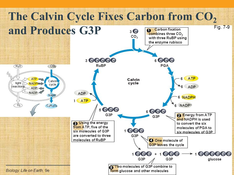 Copyright © 2011 Pearson Education Inc.Biology: Life on Earth, 9e C 3 CO 2 CCC 6 PGA NADP + ATP ADP NADPH 6 6 6 6 CCC 1 G3P CCC 5 ATP ADP 3 3 CCC 3 RuBP CCC 1 G3P + CCC 1 CCC 1 glucose CCC CCC 6 G3P Calvin cycle Energy from ATP and NADPH is used to convert the six molecules of PGA to six molecules of G3P Carbon fixation combines three CO 2 with three RuBP using the enzyme rubisco Using the energy from ATP, five of the six molecules of G3P are converted to three molecules of RuBP 4 One molecule of G3P leaves the cycle Two molecules of G3P combine to form glucose and other molecules CC 5 3 4 2 1 The Calvin Cycle Fixes Carbon from CO 2 and Produces G3P Fig.