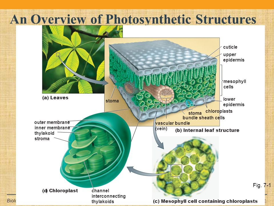 Copyright © 2011 Pearson Education Inc.Biology: Life on Earth, 9e An Overview of Photosynthetic Structures cuticle (b) Internal leaf structure upper e
