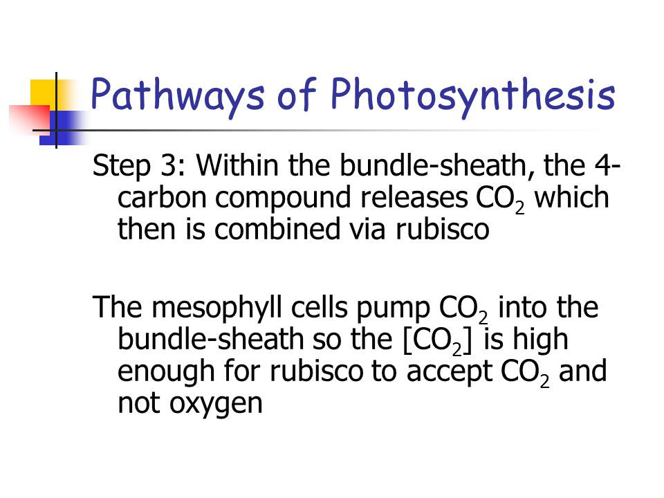 Pathways of Photosynthesis Step 3: Within the bundle-sheath, the 4- carbon compound releases CO 2 which then is combined via rubisco The mesophyll cells pump CO 2 into the bundle-sheath so the [CO 2 ] is high enough for rubisco to accept CO 2 and not oxygen