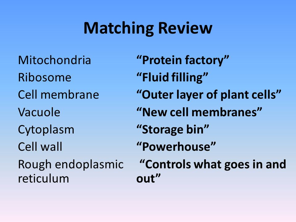 """Matching Review Mitochondria""""Protein factory"""" Ribosome """"Fluid filling"""" Cell membrane""""Outer layer of plant cells"""" Vacuole""""New cell membranes"""" Cytoplasm"""