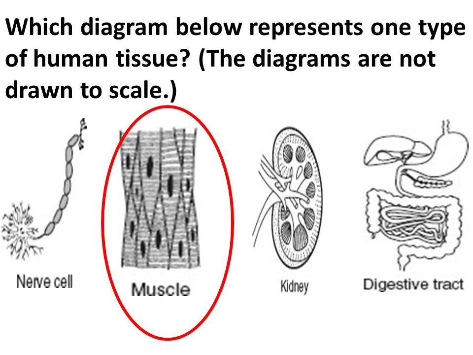 Which diagram below represents one type of human tissue? (The diagrams are not drawn to scale.)