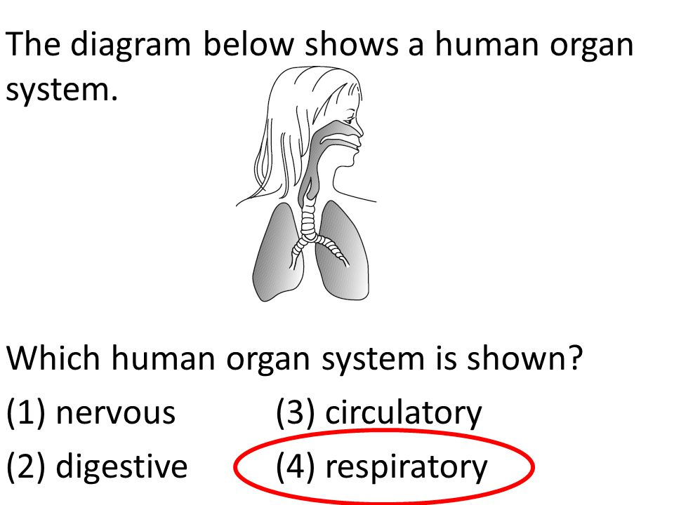 The diagram below shows a human organ system. Which human organ system is shown? (1) nervous (3) circulatory (2) digestive (4) respiratory